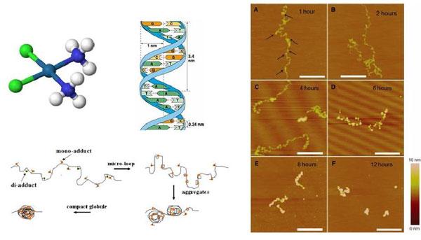 单分子方法研究抗癌药物顺铂与DNA的作用取得新进展